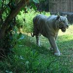 Stunning white tigers