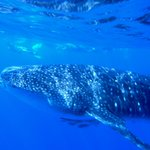 Up close and personal with the Whale Sharks