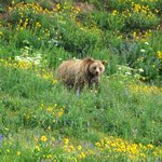 Grizzly bear spotted at Dunraven Pass which is a 10 minute drive north of Canyon Lodge