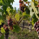 Plump vines in August!
