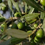 Olives glistening in Tuscan sun.