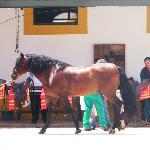 un des chevaux du spectacle