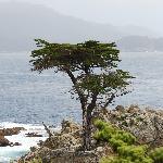 die einsame Zypresse