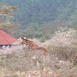 Giraffe at lodge