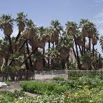 The Palm Trees of The Oasis