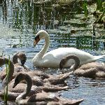 Visit from Swan and cygnets