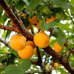 gorgeous apricots
