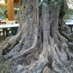 olivo del giardino