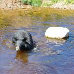A bear in the water. 8/18/11