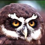 owls at screech