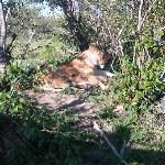 Lions and Cub