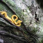 bothriecis schlegelii in Gandaca-Manzanillo