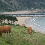 Kühe über Deba