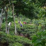 Tea pickers on the trail