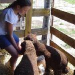 The babydoll sheep greet one of our visitors!
