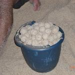Sea turtle eggs before the marine biologist took them