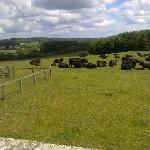 The Resident Cows