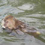 swimming monkeys