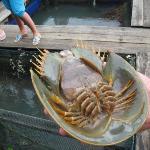 geopark - at the fish farm (horseshoe crab)