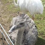 The rheas