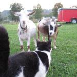 Milo and the goats