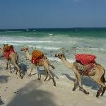 Camel train in front of Asha Cottages