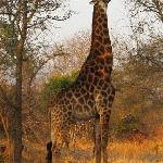 Giraffe during game drive