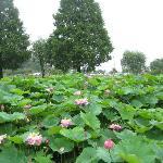 あけぼの山農業公園 池を飾る蓮の花