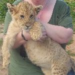 With a lion cub