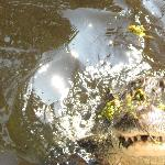 hungry gator