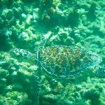 Turtle in the reef in front of Aquamarine Beach Houses