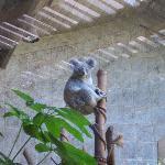One of the koalas