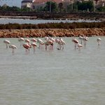 Flamingos in the salt marshes