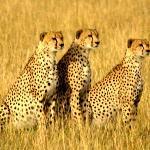 3 Cheetahs before breakfast