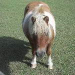 Biscuit the shetland pony