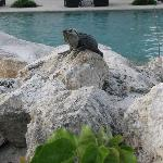 Iguanas by the pool, they love watermelon!