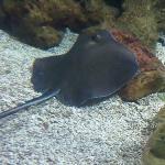 Stringray in the Oceanarium