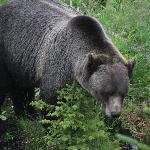 Boo at home - grizzly bear refuge