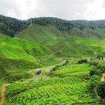 Cameron Bharat Tea Plantation