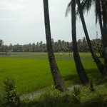 Coconut groves and paddy fields