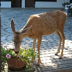 deer in inner courtyard...jumped gate to eat petunias
