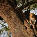 Amazing leopard sighting
