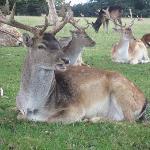 Deer at Burghley House