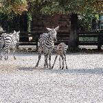 zebra con bebè