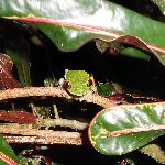 Red-eyed green frog outside the dining room