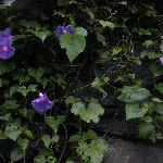 Morning glories in the garden