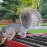 écureuil du Botanic Garden
