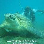 giant turtle in Red Sea - www.newsonbijou.com -