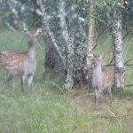 Deer - picture taken from the kitchen window