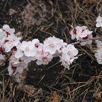 реликтовые абрикосы в цвету